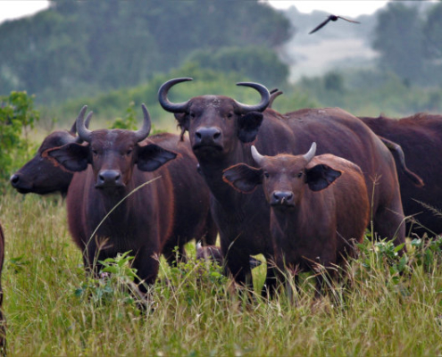 Buffaloes in Uganda Safari with Passion for Adventures Safaris