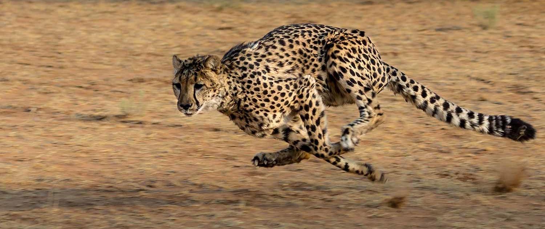 Cheetah in Kenya Tsavo East Safari with Passion for Adventures Safaris