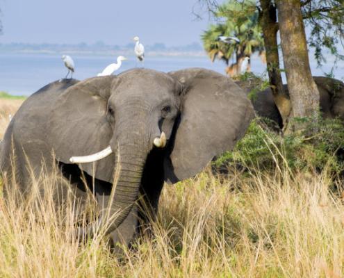 Elephant in Uganda Safari with Passion for Adventures Safaris
