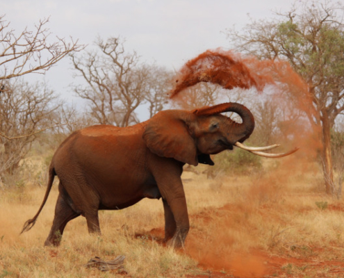 Elephant dusting itself in Masai Mara with Passion for Adventures Safaris