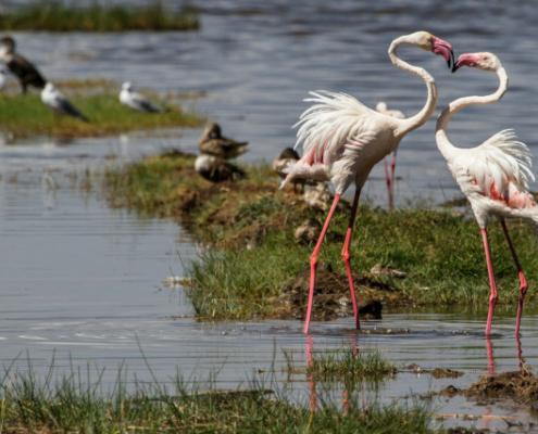 Flamingos at Masai Mara Safari with Passion for Adventures Safaris