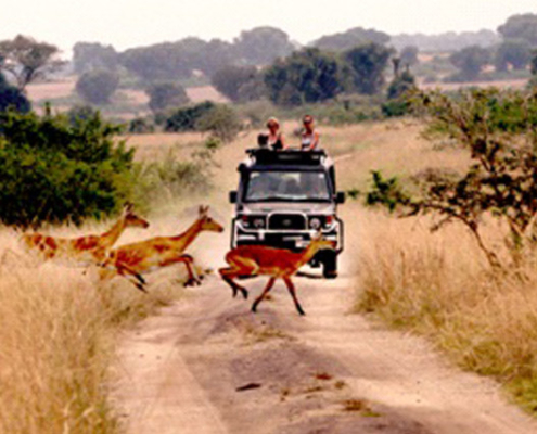 Game Drive in Queen Elizabeth National Park with Passion for Adventures Safaris