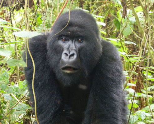 Gorilla in Uganda Safari with Passion for Adventures Safaris