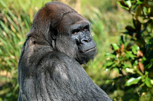 Gorilla in Passion for Adventures Safaris