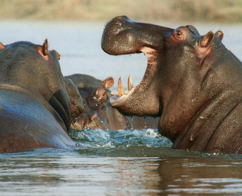 Hippo in Kenya Safari with Passion for Adventures Safaris