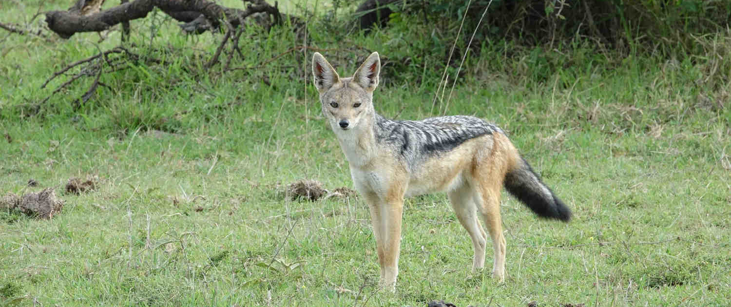 Jackal in Luxury Safari with Passion for Adventures Safaris