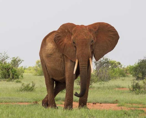 Elephant in Tsavo East Kenya Safari with Passion for Adventures Safaris