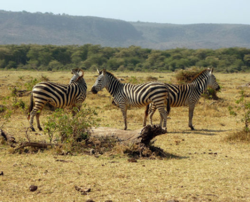 Zebra at Lake Manyara Safari with Passion for Adventures Safaris