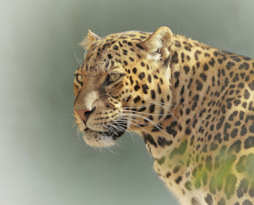Leopard in Tanzania Safari with Passion for Adventures Safaris