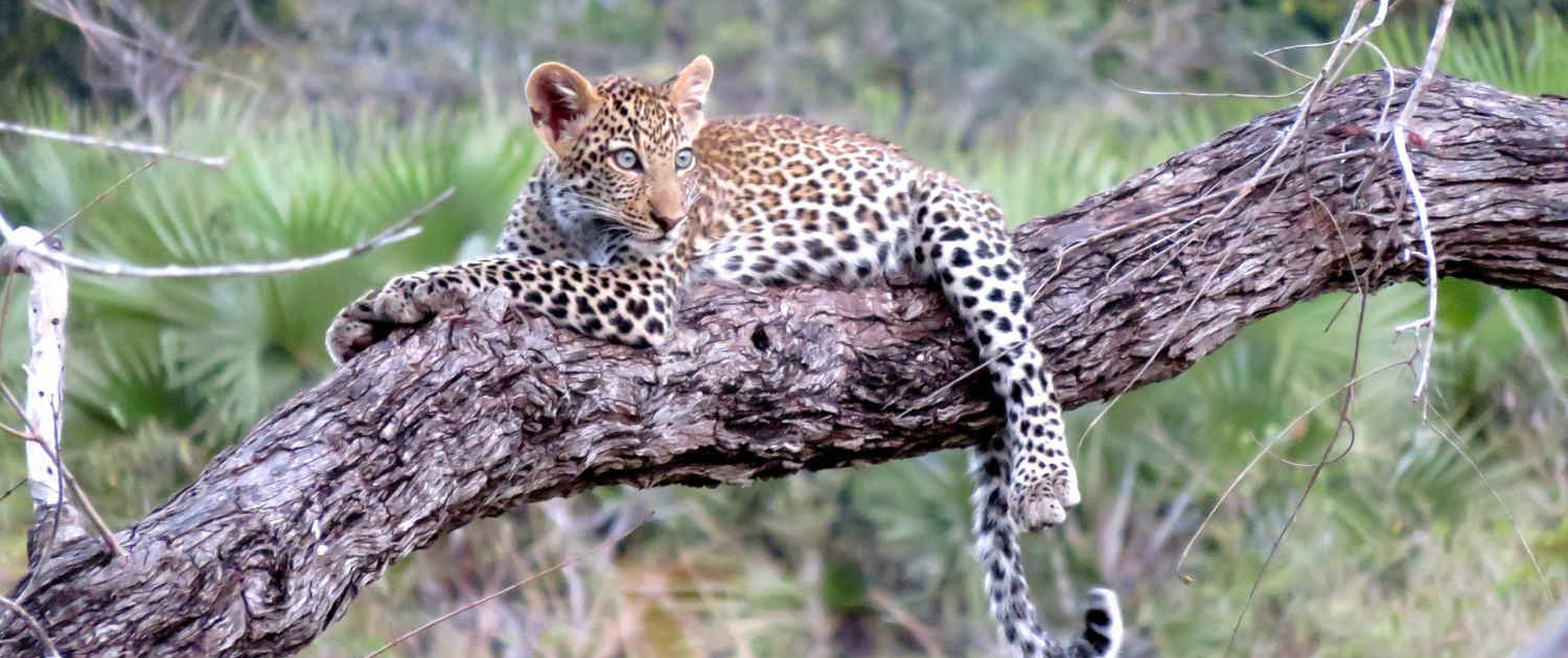 Leopard in Tanzania Serengeti Safari with Passion for Adventures Safaris