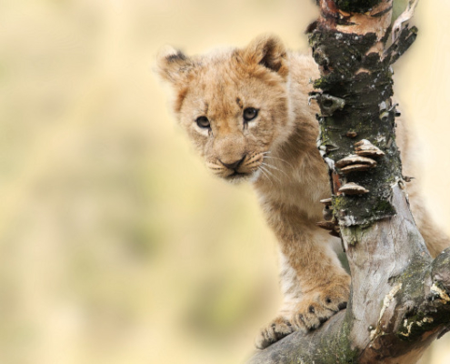 Lion Cub in Tanzania Safari with Passion for Adventures Safaris