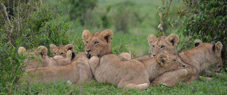 Lion Pride in Kenya Safari with Passion for Adventures Safaris