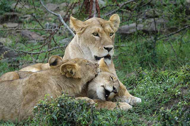 Lion in Kenya Safari with Passion for Adventures Safaris