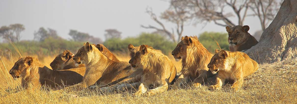 Lion Pride in Kenya Safari with Passion for Adventures Safaris