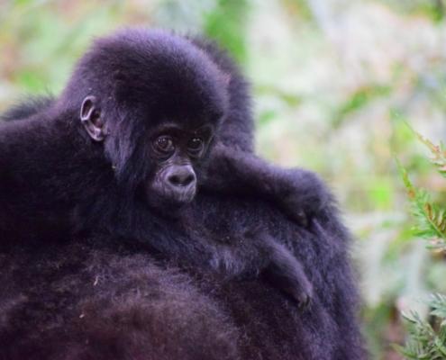 Mountain Gorilla in Uganda Safari with Passion for Adventures Safaris