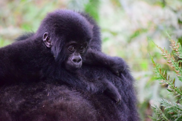 13 Day Uganda Gorillas, Wildlife and Chimpanzee Habituation Tour (PFA UG-012)