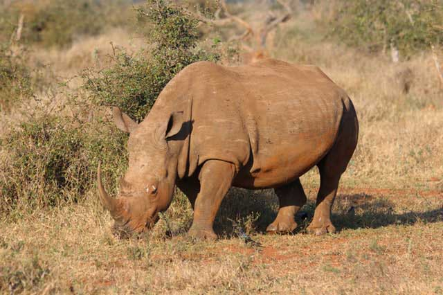 Rhino at Lake Bogoria in Kenya Safari with Passion for Adventures Safaris
