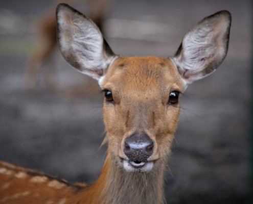 Roe Deer in Tanzania Safari with Passion for Adventures Safaris