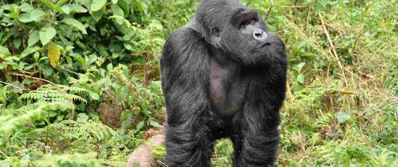 Gorilla Trekking in Rwanda Safari with Passion for Adventures Safaris