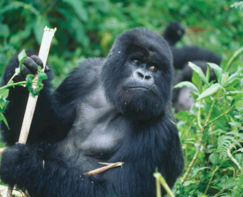 Silverback Gorilla in Rwanda Safari with Passion for Adventures Safaris