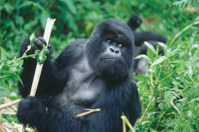 7 Day Chimpanzee and Mountain Gorilla Expedition (PFA UG-009)