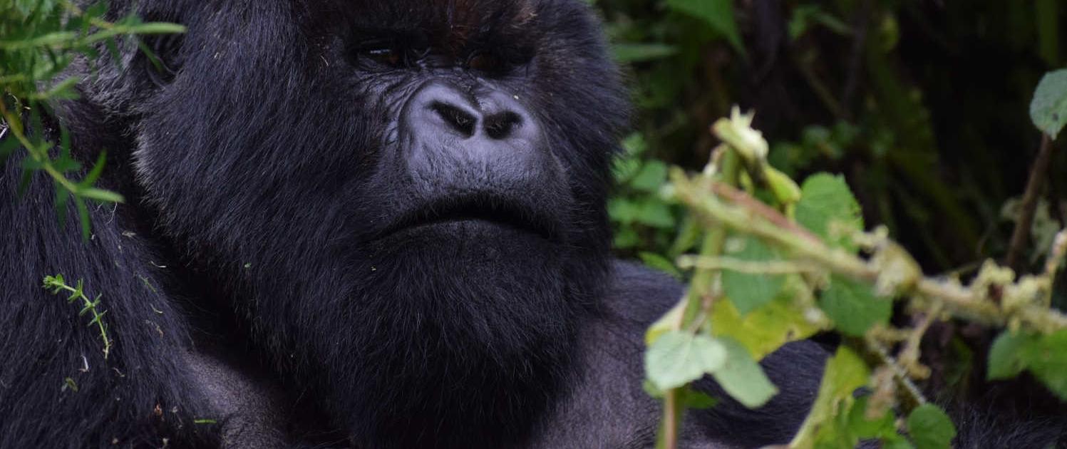 Silverback Gorilla in Uganda Safari with Passion for Adventures Safaris