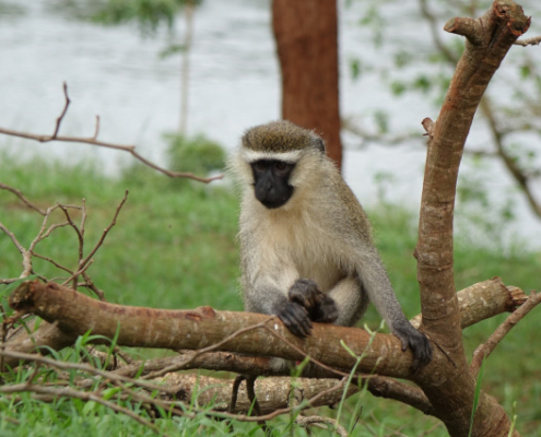 Monkey in Uganda Great Apes Safari with with Passion for Adventures Safaris