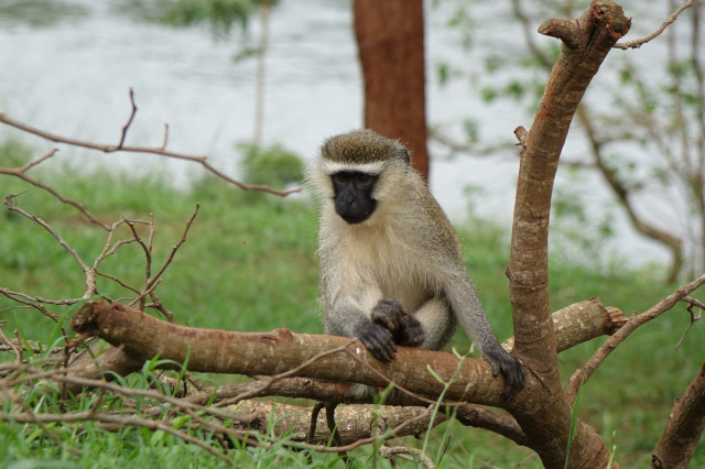 8 Day Uganda and Rwanda Great Apes Safari / Gorillas and Chimps (PFA UG-010)