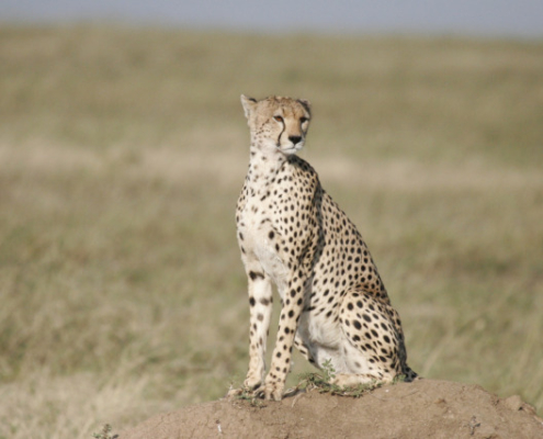 Cheetah at Tarangire Park in Tanzania Safari with Passion for Adventures Safaris