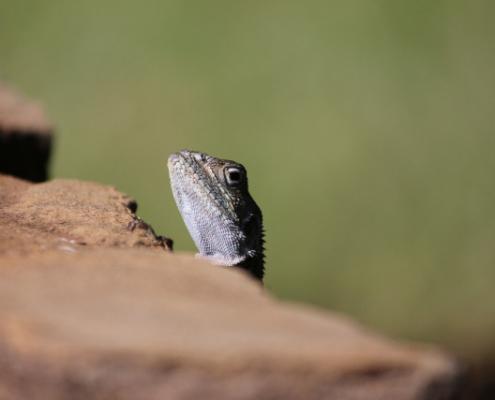 Lizard in Tsavo East Safari, Kenya with Passion for Adventures Safaris