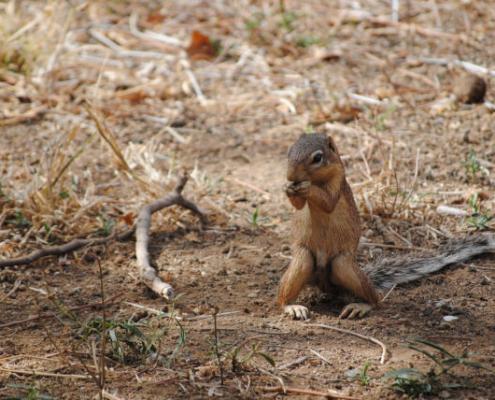 Squirrel in Tsavo East Safari, Kenya with Passion for Adventures Safaris
