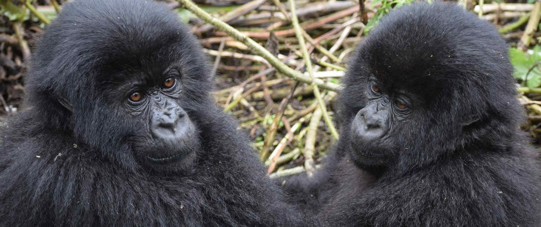 Mountain Gorillas in Uganda Safari with Passion for Adventures Safaris