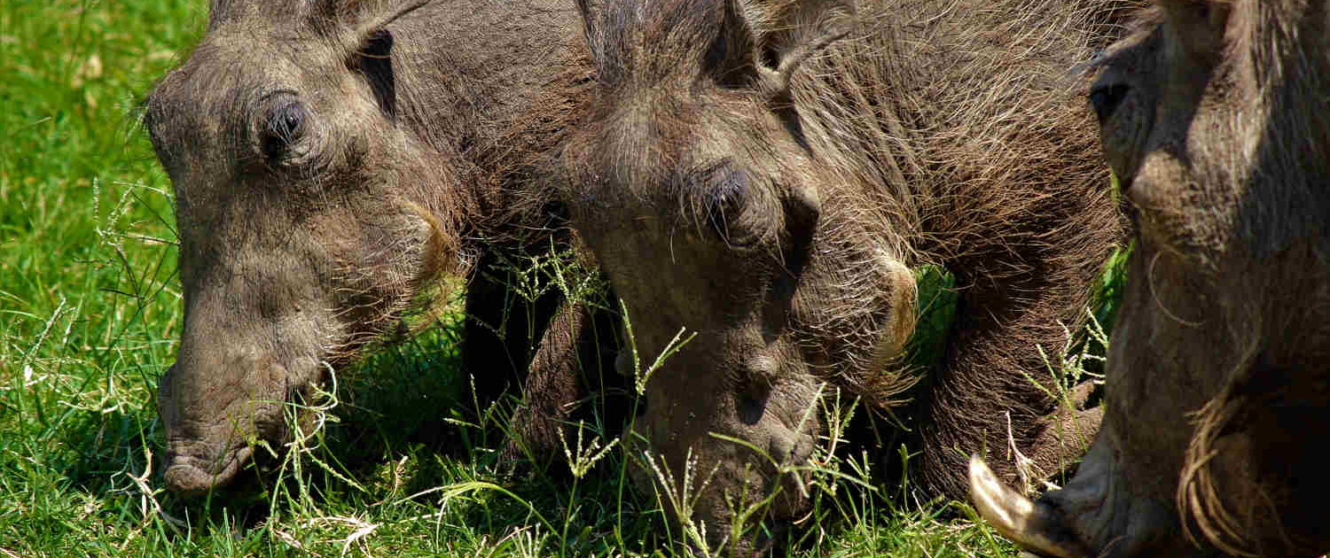 Warthog in Uganda Safari with Passion for Adventures Safaris