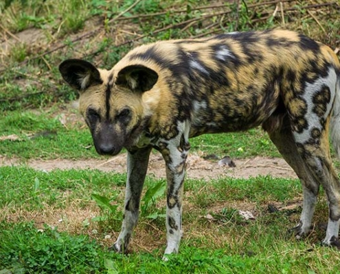 Wild Dog in Mt Kenya Safari with Passion for Adventures Safaris