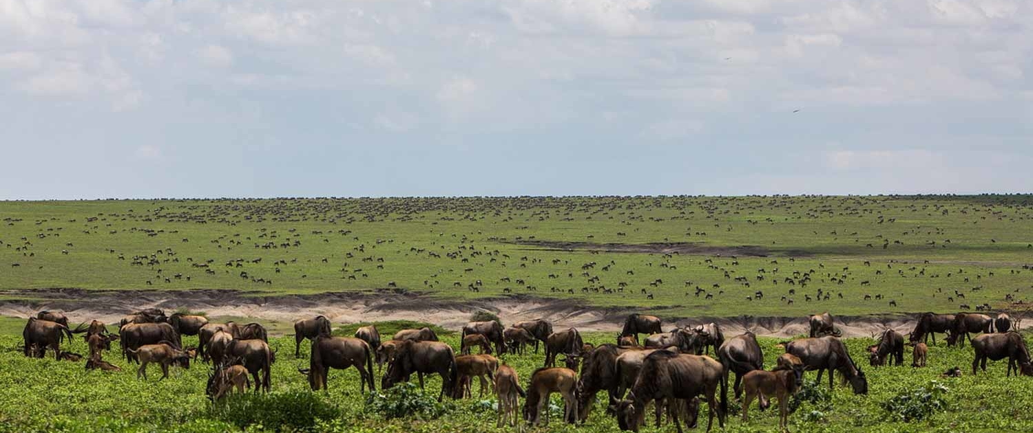 Wildebeest in Masai Mara Kenya Safari with Passion for Adventures Safaris