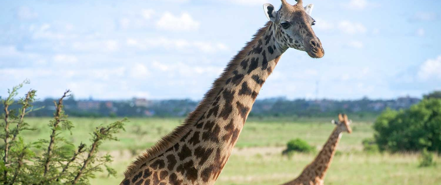Giraffe at Nairobi National Park, Narobi Excursions with Passion for Adventures Safaris